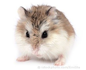 Roborovski Hamster – RETNS KidsBlog