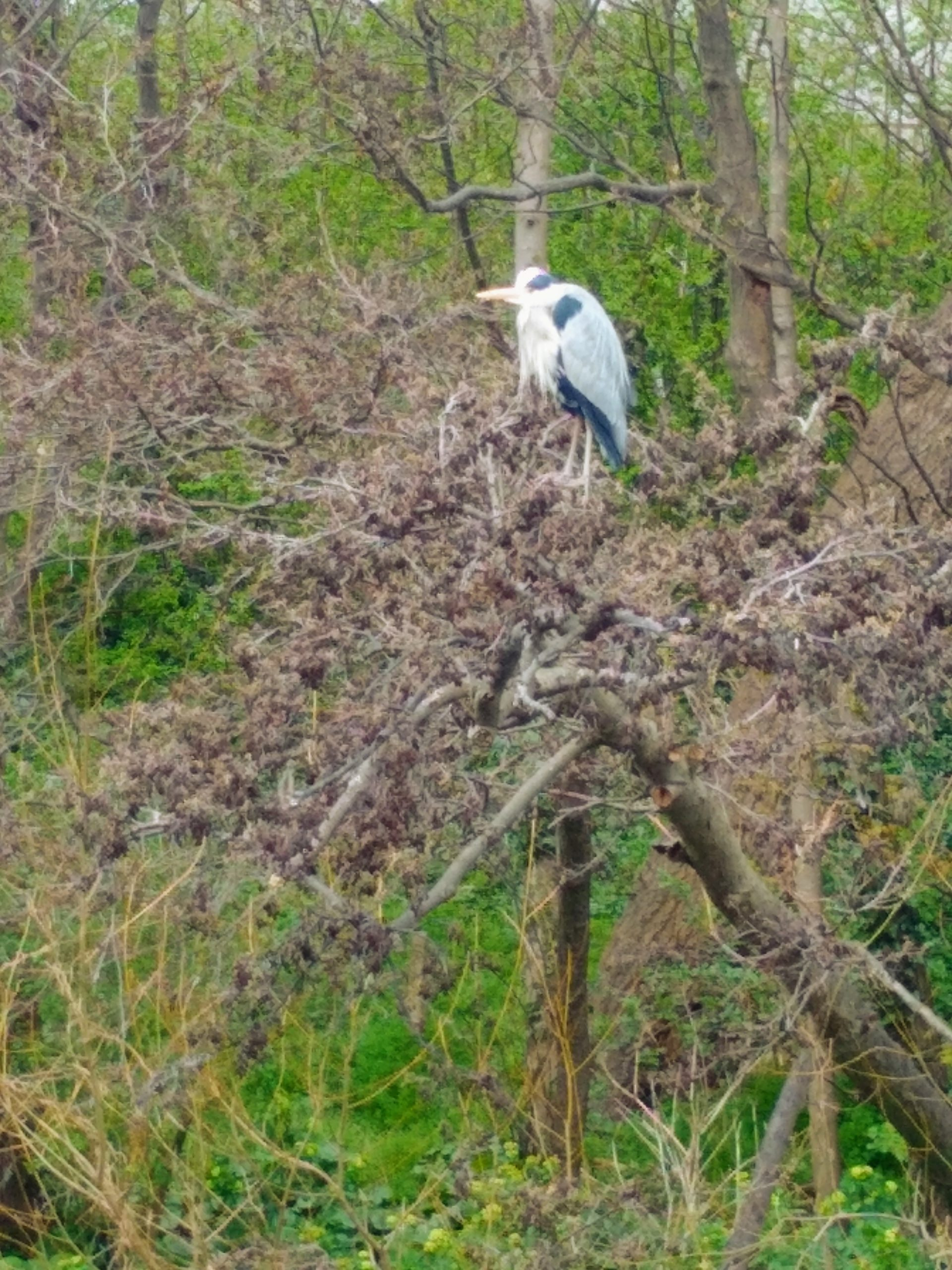 Heron on Maeves Walk